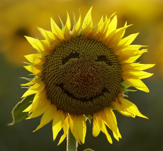 FILE - In this Sept. 7, 2016 file photo, a smiley face is seen on a sunflower in a sunflower field in Lawrence, Kan. Over the past decade as income in the U.S. has gone up, self-reported happiness levels have fallen fast, some of the biggest slides in the world. Yet this year, Norway vaulted to the top slot in the annual World Happiness Report despite the plummeting price of oil, a key part of its economy. (AP Photo/Charlie Riedel)