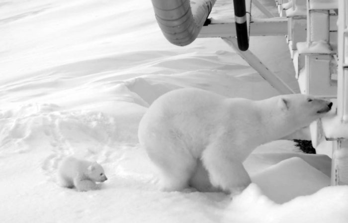 In this undated image taken by a remote camera and provided by the U.S. Fish and Wildlife Service, a polar bear and her young cub stand next to a causeway bridge leading to an artificial island oil production platform in the Beaufort Sea in Alaska. Hilcorp Alaska oil field workers in December spotted the den alongside the bridge and restricted activity to make sure the female was not disturbed. The mother and her cub emerged March 18, stayed near the den for two weeks and headed out to see to hunt for seals. (U.S. Fish and Wildlife Service via AP)