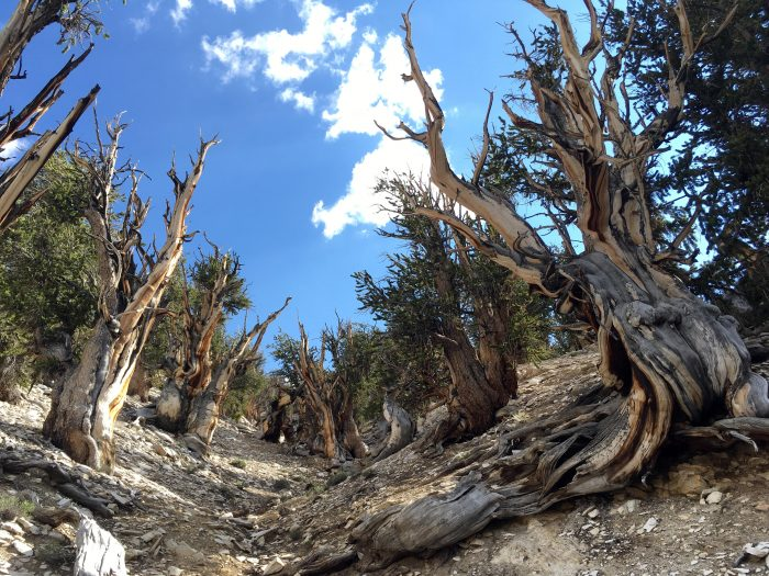 CORRECTS TO REMOVE REFERENCE TO DEAD TREES- This July 11, 2017, photo shows gnarled, bristlecone pine trees in the White Mountains in east of Bishop, Calif. Limber pine is beginning to colonize areas of the Great Basin once dominated by bristlecones. The bristlecone pine, a wind-beaten tree famous for its gnarly limbs and having the longest lifespan on Earth, is losing a race to the top of mountains throughout the Western United States, putting future generations in peril, researchers said Wednesday, Sept. 13. (AP Photo/Scott Smith)