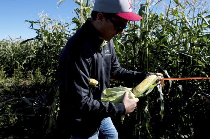 FILE - In a Tuesday, Oct. 3, 2017, file photo, Kevin Moe, a Syngenta seed representative, holds an ear of sweet corn at one of the company's test sites near Pasco, Wash. On Thursday, Oct. 12, 2017, the  Labor Department reports on U.S. producer price inflation in September. (Tyler Tjomsland/The Spokesman-Review via AP, File)
